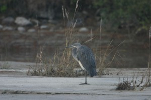 White-bellied-Heron--300x200